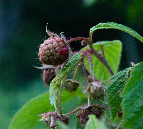 Ripening raspberry on the vine by Molly S.