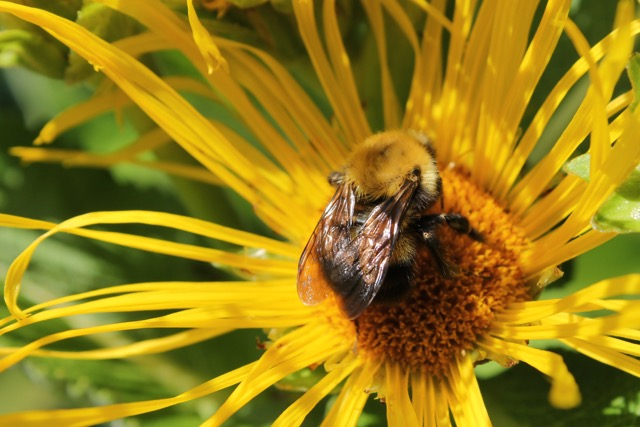 Bee on elecampane by Molly S.